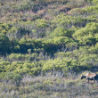 A moose in Denali Park — Stock Photo