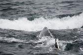 Humpback whale in Alaska — Stock Photo