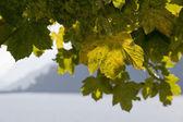 Podświetlenie drzewa liści — Zdjęcie stockowe
