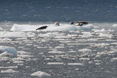 Sea lions resting on ice — Stock Photo