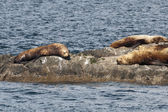 Sea lions resting on a rock — Stock Photo