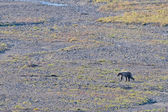 A grizzly bear in Denali Park — 图库照片