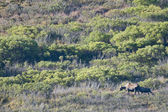 A moose in Denali Park — 图库照片