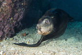 Sea lion underwater looking at you — Stock Photo