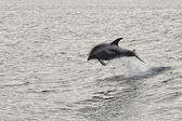Dolphin jumping in the deep blue sea — Photo