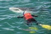 Rekin wielorybi podczas jedzenia — Zdjęcie stockowe
