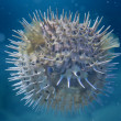 A inflated porcupine  fish — Stockfoto