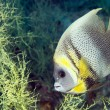 Angel fish looking at you — Stock Photo