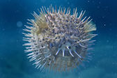 A inflated porcupine fish — Stock Photo