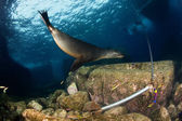 水中の海のライオン — ストック写真