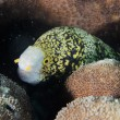 Eel mooray portrait — Stock Photo