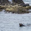 Sea lion seals while swimming — 图库照片