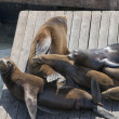 Frisco Harbor seals relaxing on pier — Stock Photo