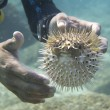 Stok fotoğraf: Hands on inflated ball fish