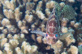 Isolated colorful grouper — Photo