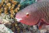 A pink parrot fish — Stock Photo