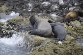 Sea lion seals relaxing — Stockfoto