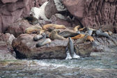 Sea lion seals relaxing — Stock Photo