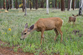 Female deer with calf — Stock Photo