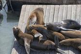 Frisco Harbor seals relaxing on pier — Stock Photo