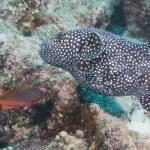 Puffer fish underwater portrait — Stock Photo