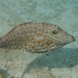 Harlequin filefish — Stock Photo