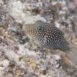 Stock Photo: Puffer fish