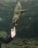 Puppy sea lion underwater looking at you — Stock Photo