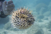 Hands on inflated ball fish — Stock Photo