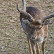 Stock Photo: Male Roe Mule Deer