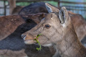 Female Roe Mule Deer — Stock Photo