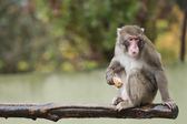 A monkey while eating — Stockfoto