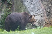 Black grizzly bears — 图库照片