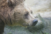 Black grizzly bears — Photo