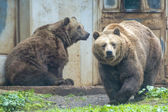 Black grizzly bears — ストック写真