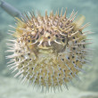 Stock Photo: Inflated porcupine ball fish