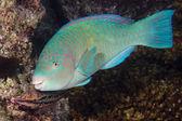 Parrot fish underwater — Stock Photo