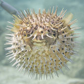 Inflated porcupine ball fish — Stock Photo