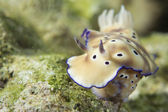 Chromodoris Coi Nudibranch — Stockfoto