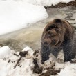 Stock Photo: Black bear brown grizzly in winter