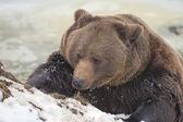 Zwarte beer bruin grizzly in de winter — Stockfoto