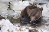 Black bear brown grizzly in winter — Stock Photo