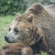 Two Black grizzly bears — Stockfoto