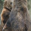 Two Black grizzly bears — Stock Photo #36665689