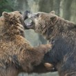 Stock Photo: Two Black grizzly bears