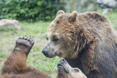 Two Black grizzly bears — Photo