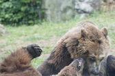 Two Black grizzly bears — Foto de Stock