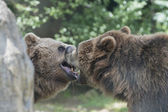 Two Black grizzly bears — Foto Stock