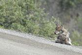 Um lobo cinzento — Fotografia Stock