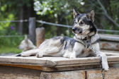 Sled dog while resting — Stockfoto